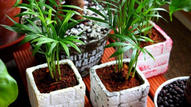 テーブルヤシの育て方!肥料や株分けの方法についてもご紹介!