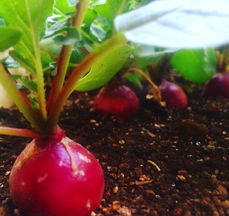 ラディッシュの種まき〜収穫までの育て方!栽培時期や病気・害虫の対策など