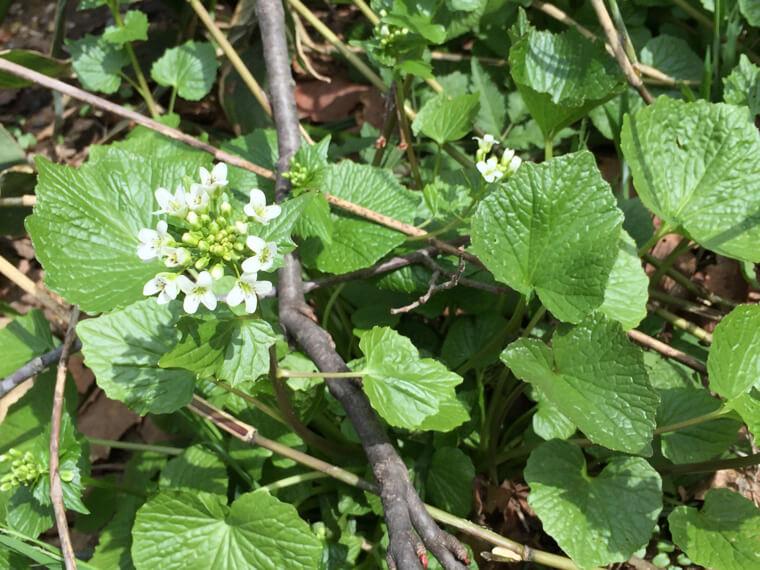 ワサビの苗植え〜収穫までの育て方!栽培時期や病気・害虫の対策について