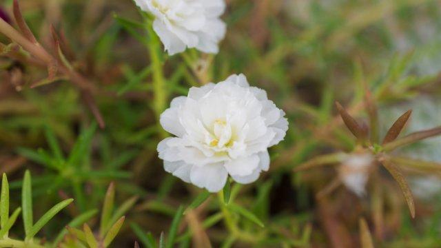 スベリヒユの種まき〜収穫までの育て方!栽培時期や食べ方について