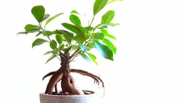 ガジュマルの育て方!剪定方法や挿し木での増やし方などもご紹介!