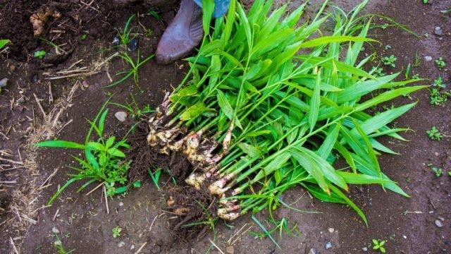 ジンジャー苗植え〜収穫までの育て方!栽培時期や育成条件などもご紹介