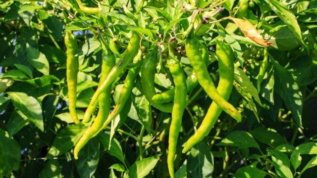 ししとうの種まき〜収穫までの育て方!栽培時期や支柱立て・病害虫対策など