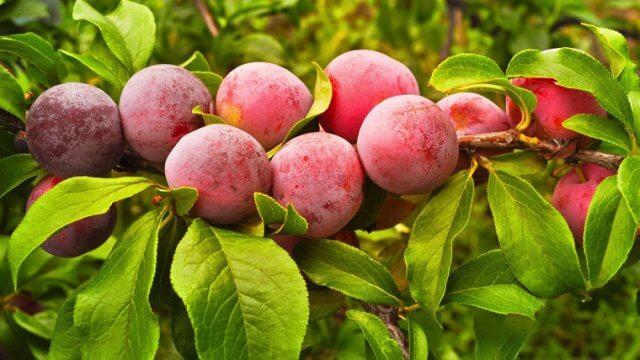 プラムの種から収穫までの育て方!栽培時期や摘果・剪定方法など