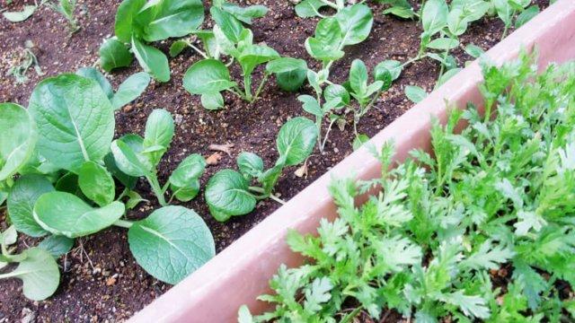 家庭菜園でプランター栽培におすすめの野菜