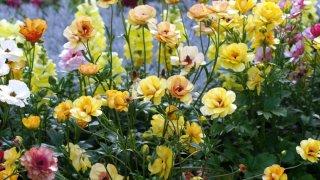 ラナンキュラスの植え付け〜開花までの育て方!栽培時期や増やし方など