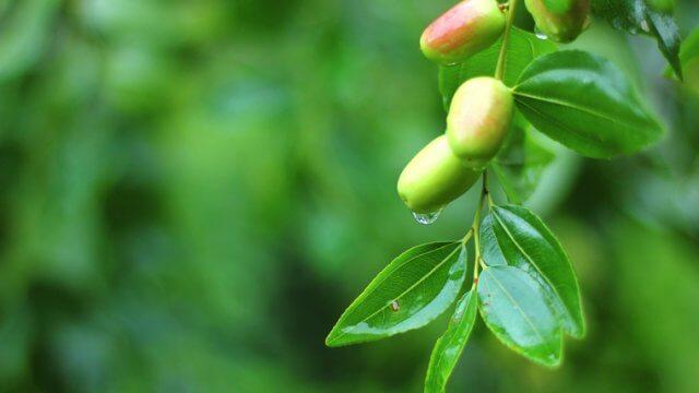 ナツメの苗植え〜収穫までの育て方!栽培時期や剪定方法・病害虫の対策など