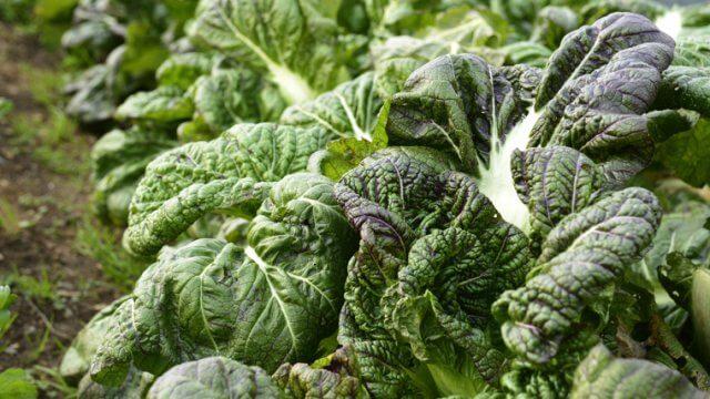 高菜の種まき〜収穫までの育て方!栽培時期や肥料・病害虫の対策など