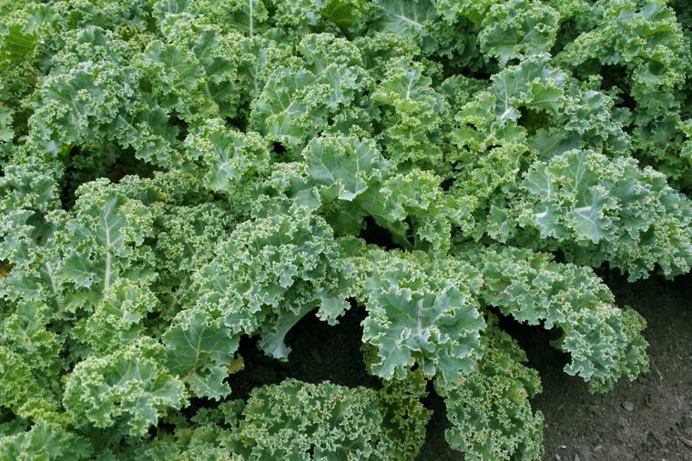 ケールの種まき〜収穫までの育て方!栽培時期や病害虫の対策など!