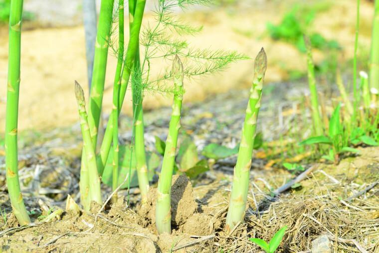 アスパラガスの苗植え〜収穫までの育て方!栽培時期や病害虫の対策などもご紹介!