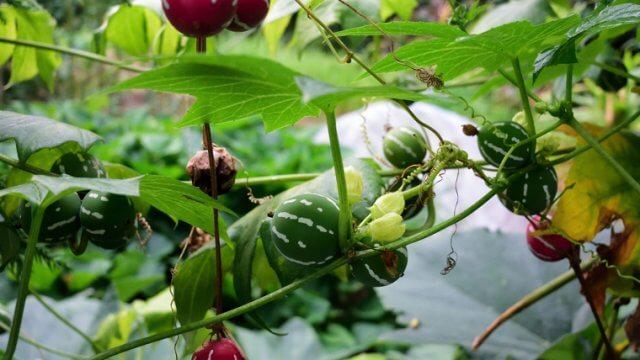 オキナワスズメウリの種まき〜収穫までの育て方!栽培時期や病害虫の対策など