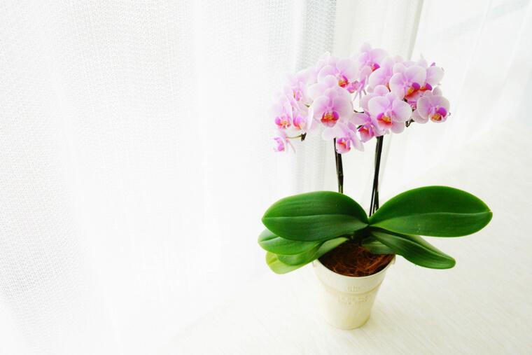 胡蝶蘭の苗からの育て方!栽培時期や花が咲き終わった後について
