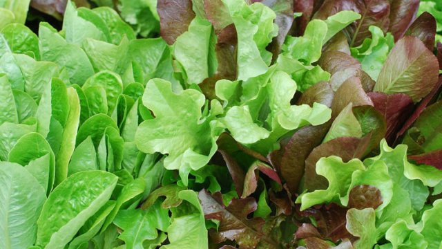 ベビーリーフの種まき〜収穫までの育て方!栽培時期や増やし方・病害虫の対策など