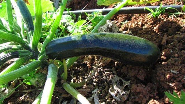 ズッキーニの種まき〜収穫までの育て方!栽培時期や病害虫の対策など