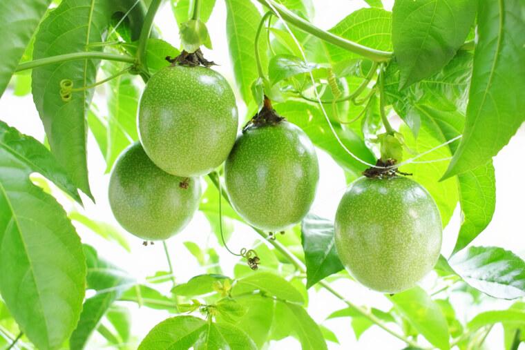 パッションフルーツの育て方!栽培時期や剪定方法・病害虫の対策など