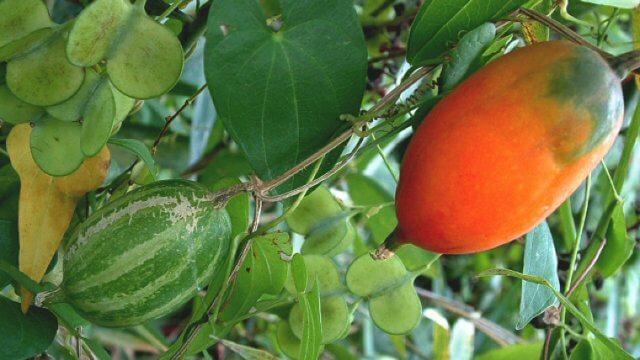 カラスウリの種まきから収穫までの育て方!栽培時期や増やし方など