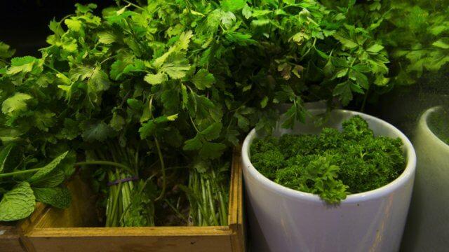パクチーの種まき〜収穫までの育て方!栽培時期や病害虫の対策など