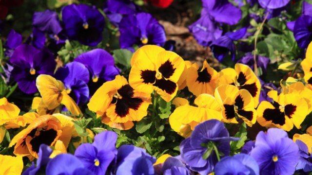 パンジー・ビオラの種まき〜開花までの育て方!栽培時期や病害虫の対策など
