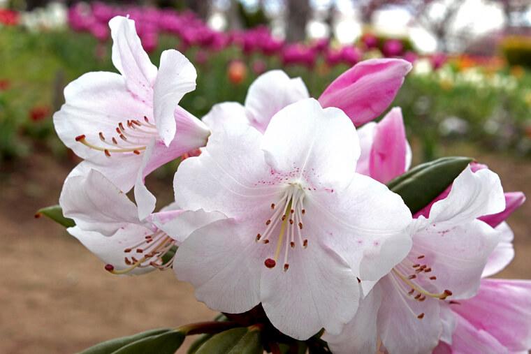 シャクナゲの植えつけ〜開花までの育て方!栽培時期や病害虫の対策など