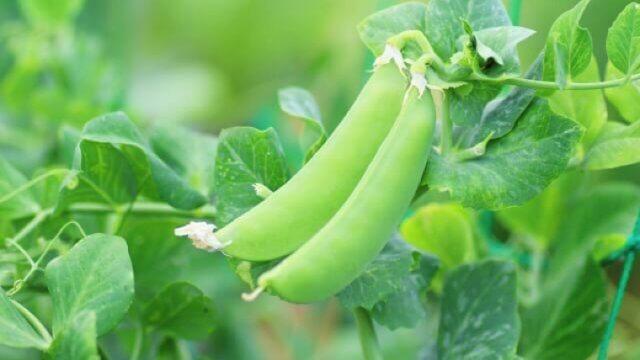 グリーンピースの種まき〜収穫までの育て方!栽培時期や病害虫の対策など