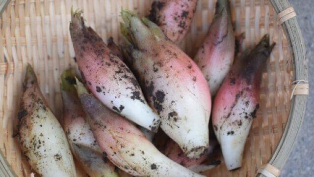ミョウガの植え付け〜収穫までの育て方!栽培時期や病害虫の対策など