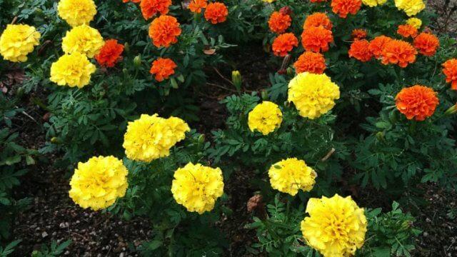 マリーゴールドの種まき~開花までの育て方、栽培時期や病害虫対策など