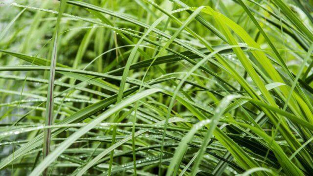 レモングラスの種まき〜収穫までの育て方!栽培時期や病害虫の対策など