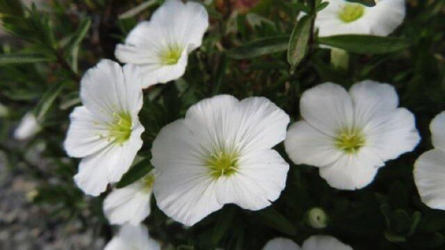 アレナリアの植えつけ〜開花までの育て方!栽培時期や病害虫の対策など