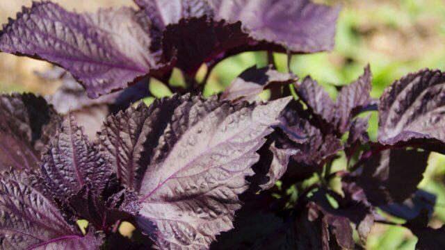赤紫蘇の種まき〜収穫までの育て方!栽培時期や病害虫の対策など
