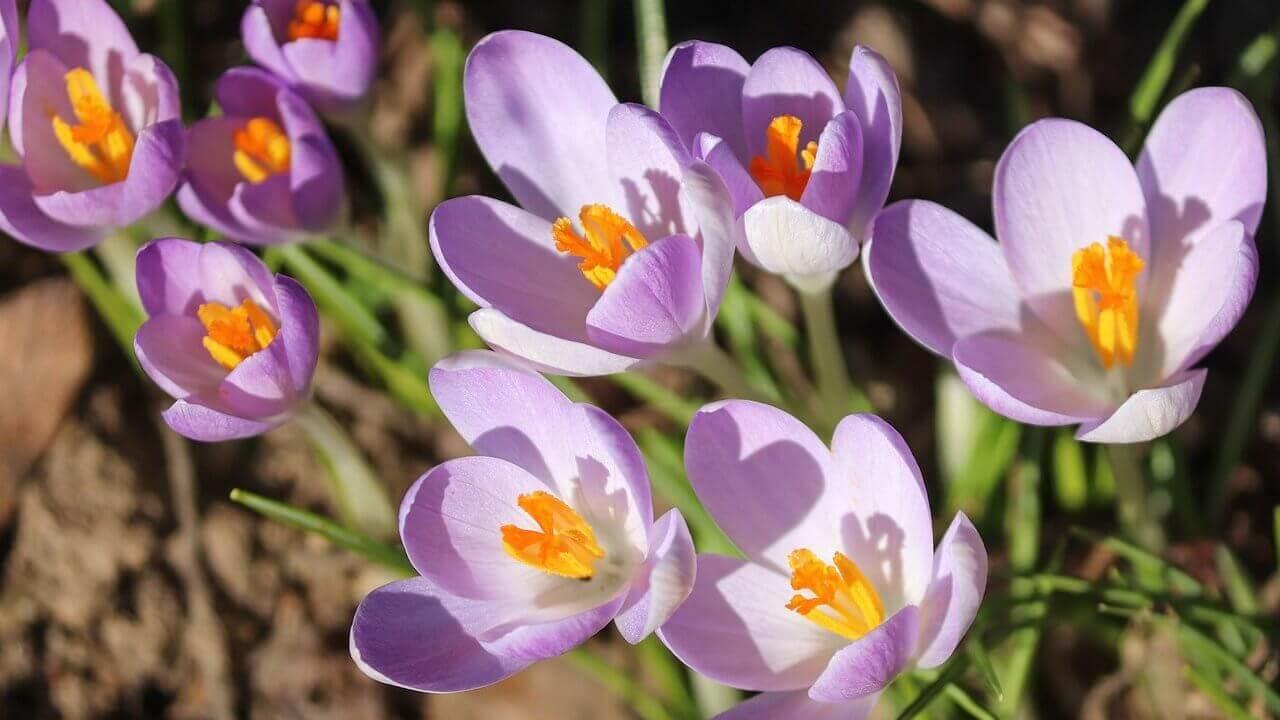 クロッカスの植え付け〜開花までの育て方!栽培時期や病害虫の対策など