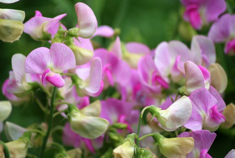 スイートピーの育て方!栽培時期や種まきから花が咲くまで