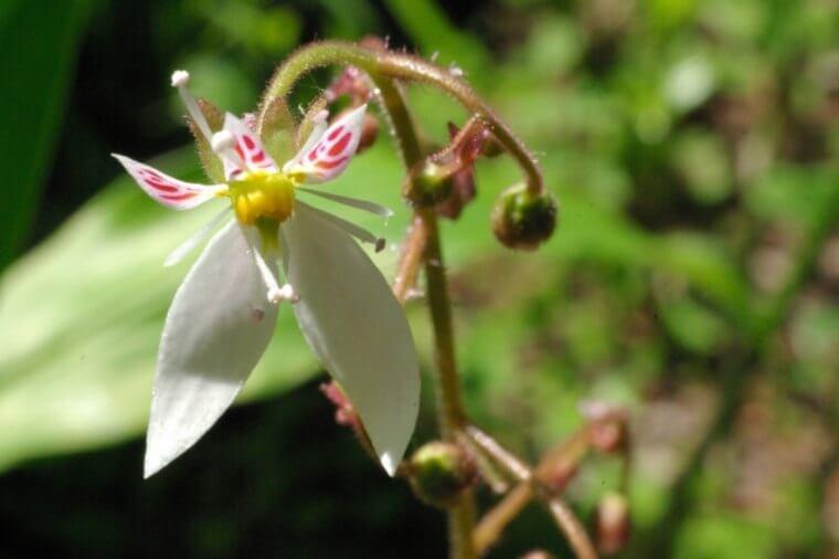 ユキノシタの種まきからの育て方!増やし方のコツなどもご紹介!
