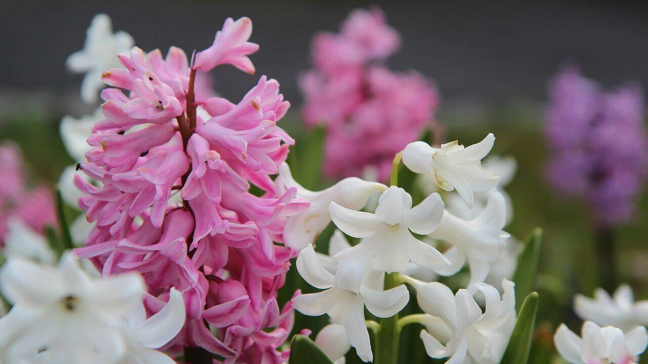 ヒヤシンスの植え付け〜開花までの育て方!栽培時期や病害虫の対策など