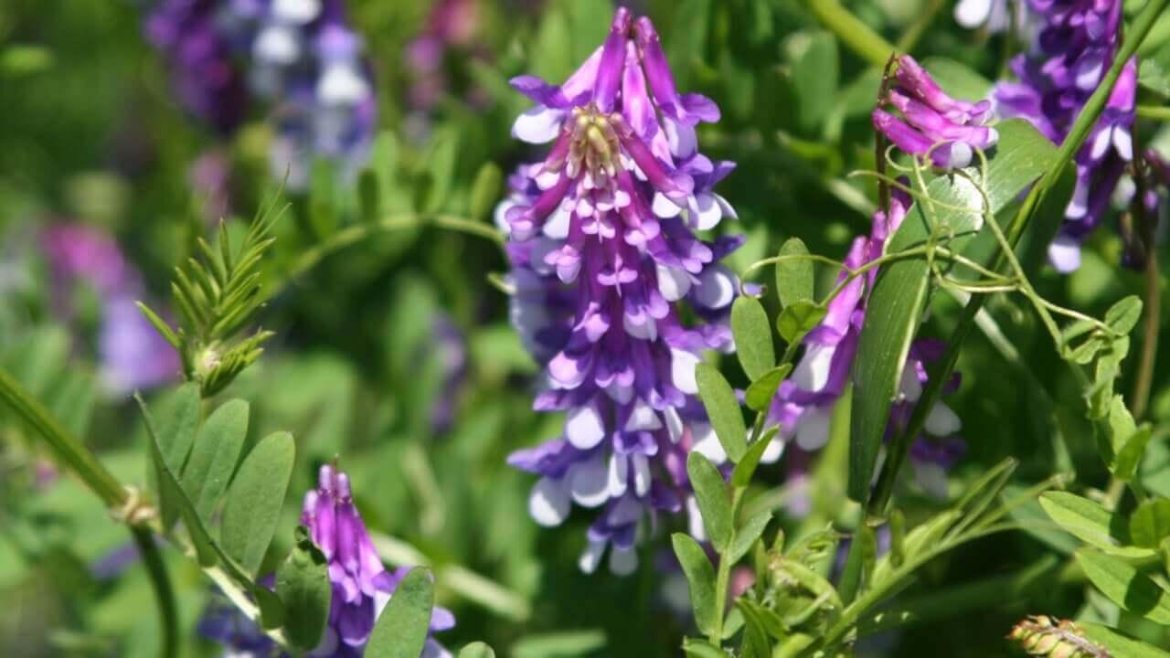 ヘアリーベッチの種まき〜開花までの育て方!栽培時期や病害虫の対策など