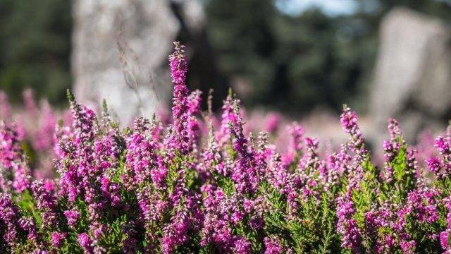 カルーナの植え付け〜開花までの育て方!栽培時期や病害虫の対策など