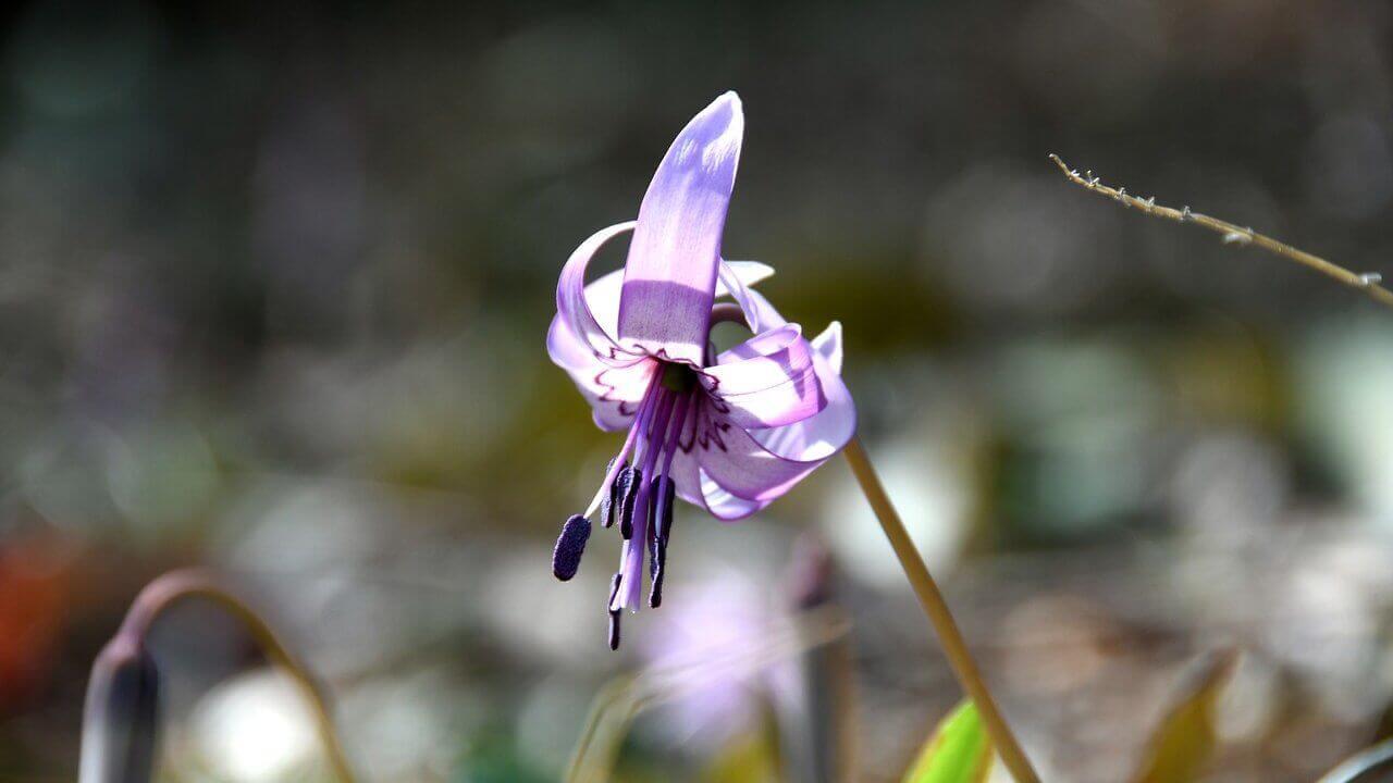 カタクリの植え付け〜開花までの育て方!栽培時期や病害虫の対策など