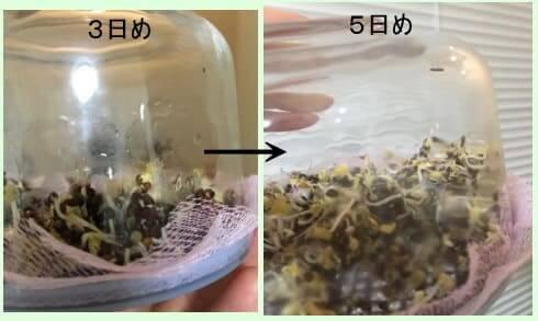 ブロッコリースプライト 種まきから成長過程