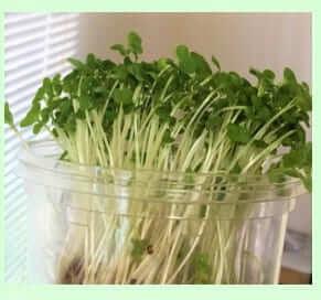 キッチンで栽培した実際のブロッコリースプラウト
