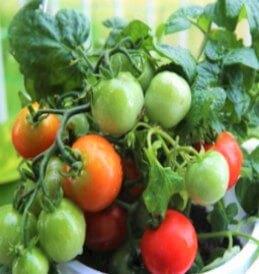 背の低いトマト レジナ
